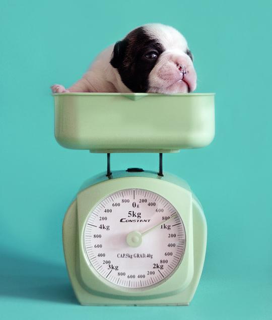 Bulldog Weight Chart Baggy Bulldogs