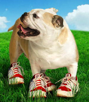 lisa_english_bulldog_running_123rf