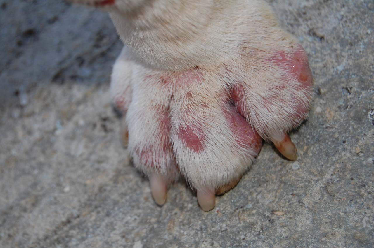 Dog Licking Paws Raw In Kennel