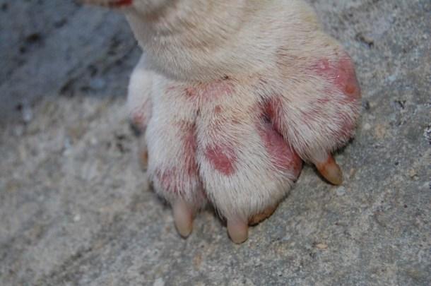 interdigital cysts in English bulldogs