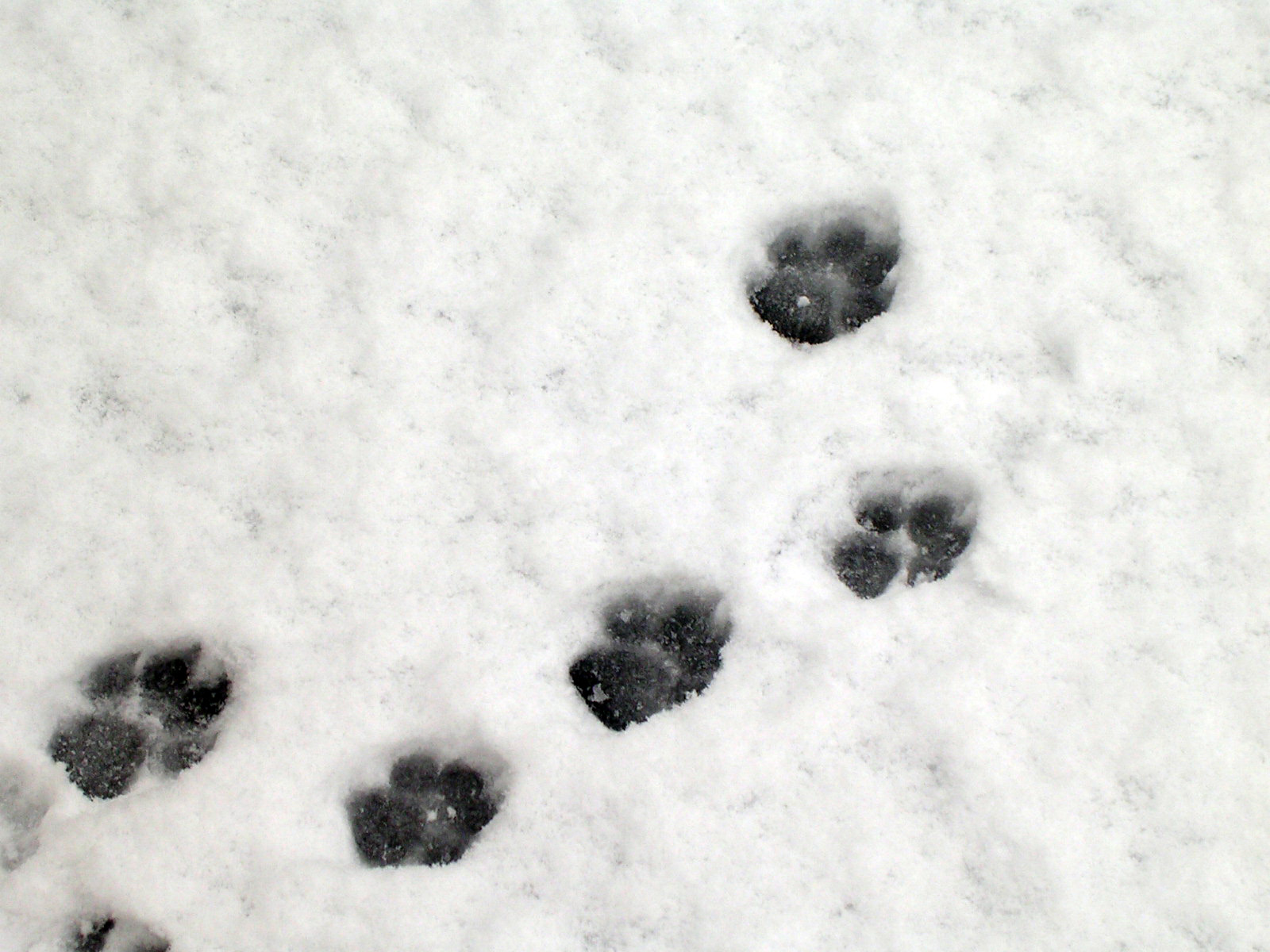 dog paw prints in - photo #34