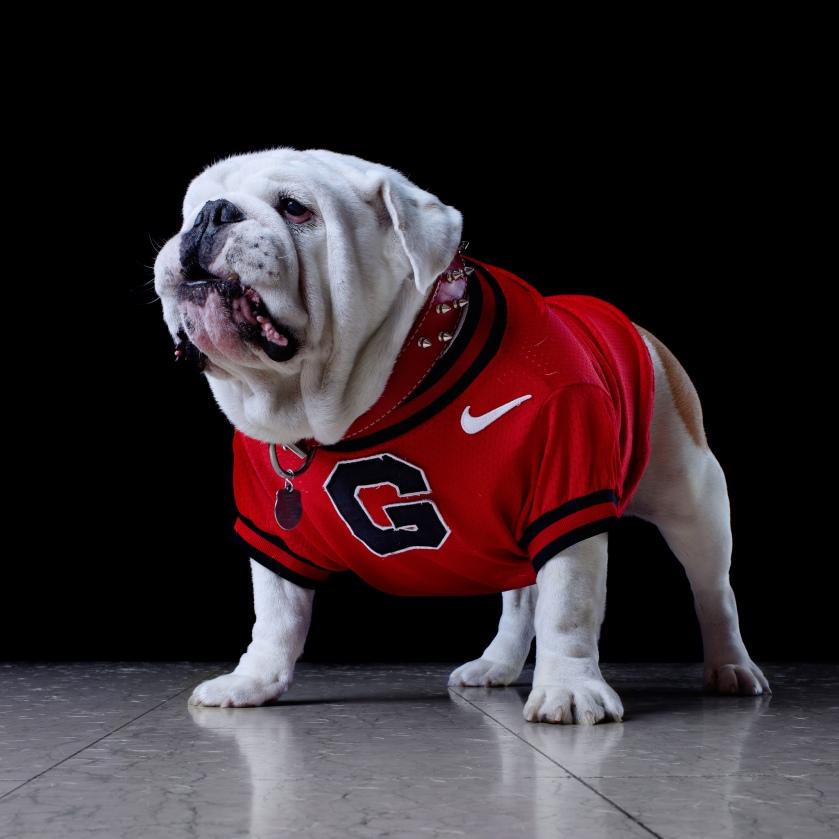 Uga the Bulldog University of Georgia 3.jpg