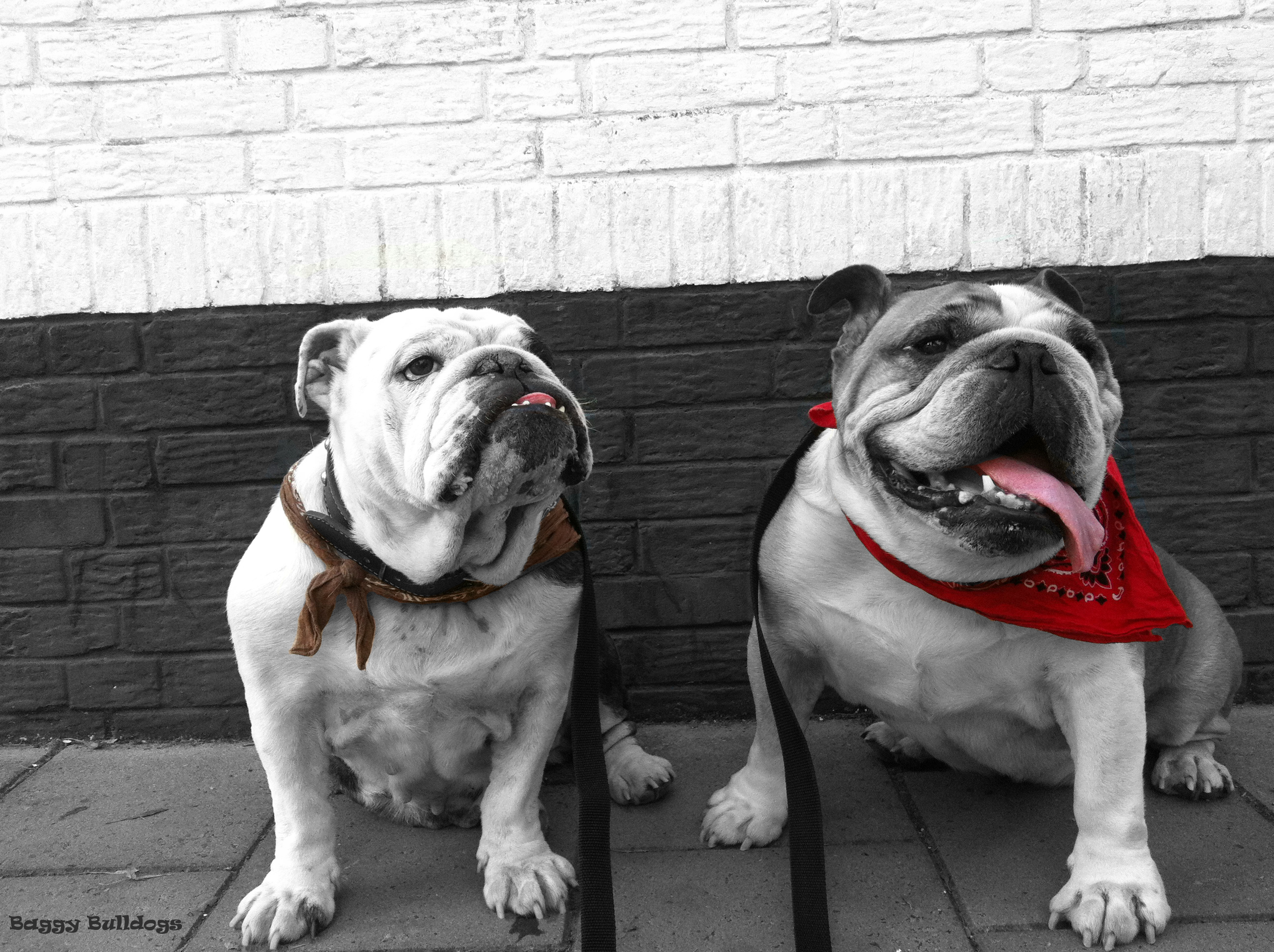 As A Bulldog Addict I Talk Lot About My Fur Bully Babies And Of Times Get The Question But Why Bulldogs What Is It That Makes