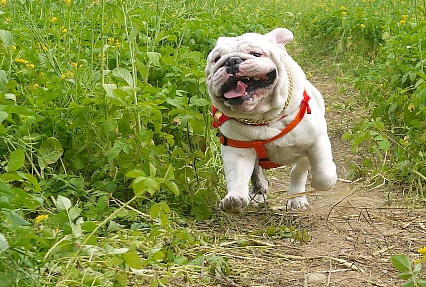 english bulldog training bulldog training baggy bulldogs 4883