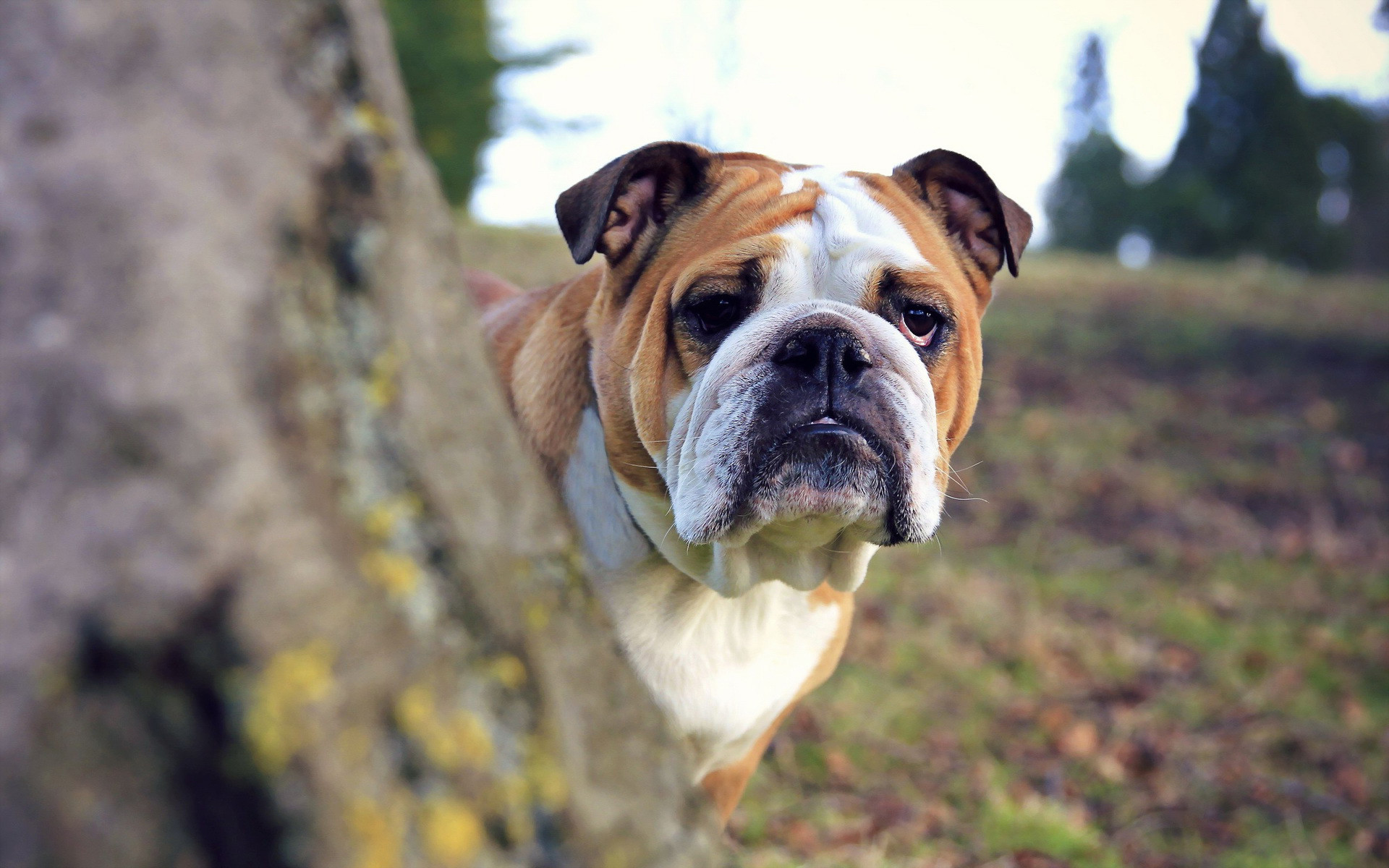 english bulldog wallpaper wallpapers baggy bulldogs 103