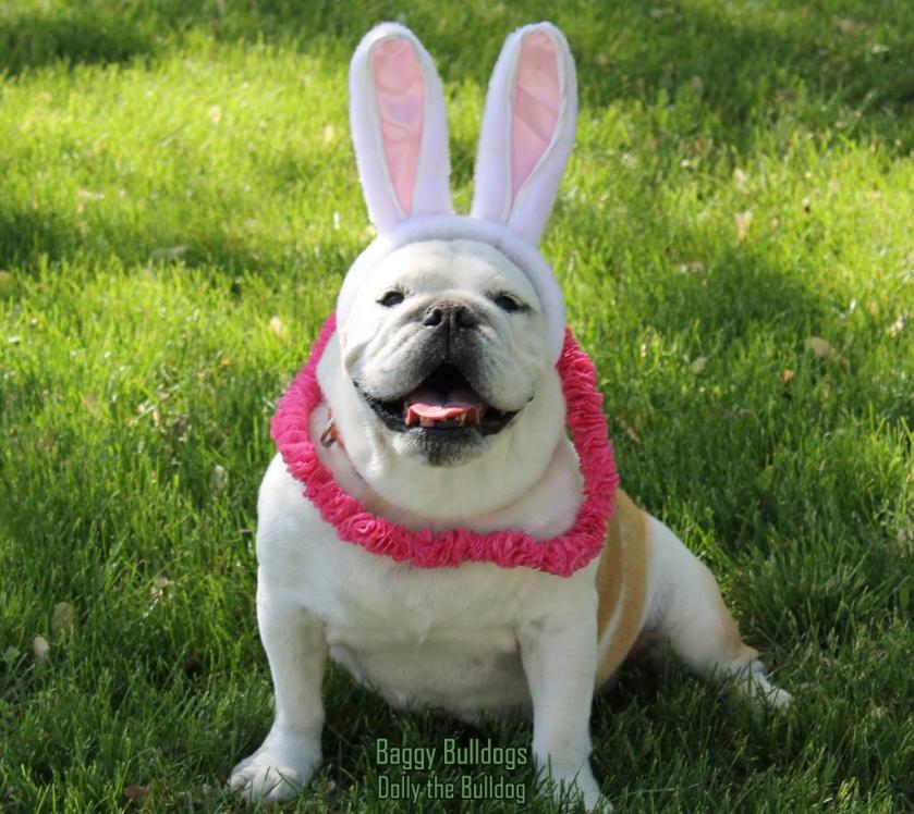 facebook.com-DollyTheBulldog 2